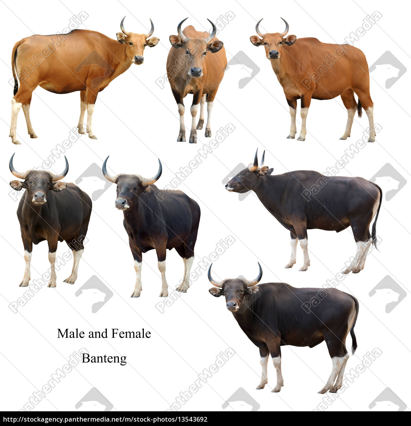 male, and, female, banteng, , isolated - 13543692