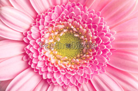gerber, daisy - 13544040