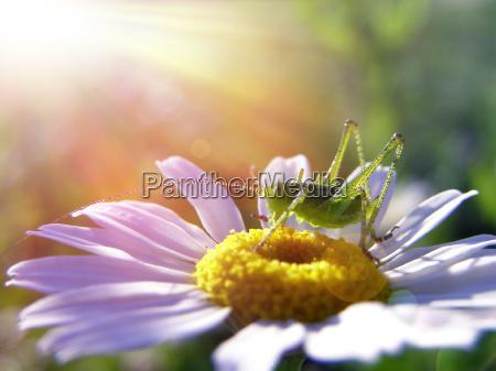 daisy and grasshopper under the sunlight