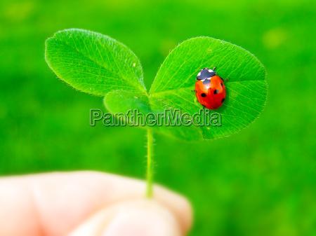 a ladybug on a green clover