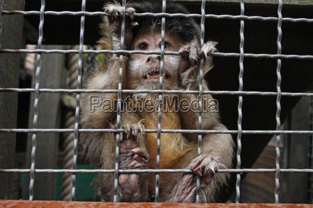 capuchin monkey in the cage