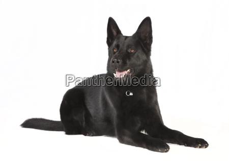 optional black schaeferhund