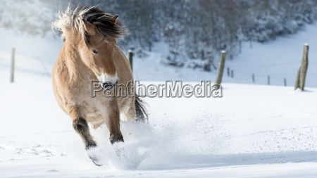 horse gallops through deep snow