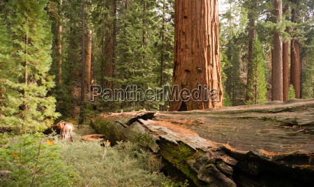 fallen forest giant sequoia tree national