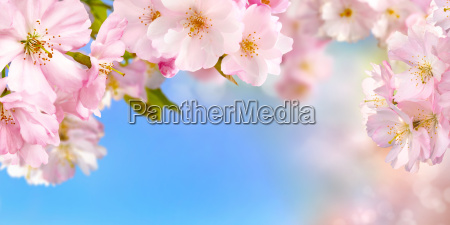 cherry blossoms background with sky