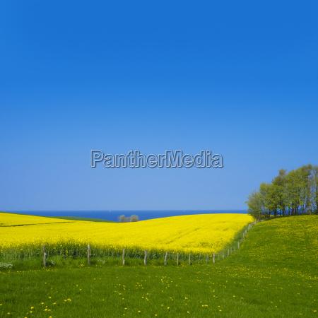 rape field at the baltic sea