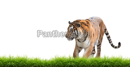 bengal, tiger, isolated - 13703610