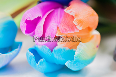 macro of multicolored tulip