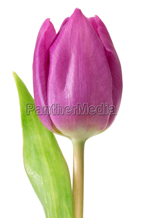 head of a purple tulip