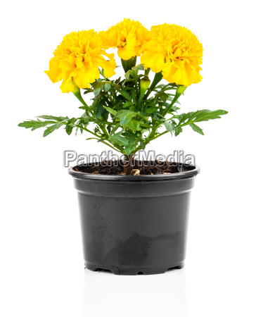 marigold flower in pot