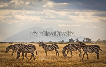zebra herd on plains of amboseli