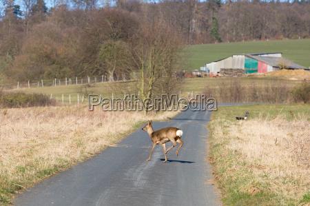 deer runs away