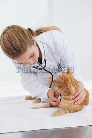 vet checking a cats heartbeat