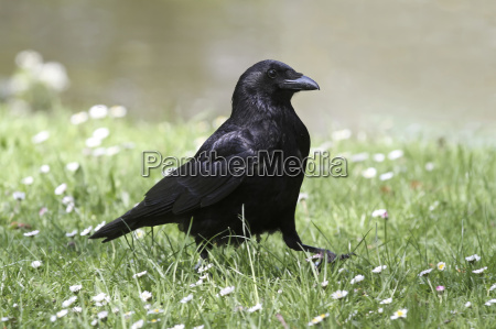 the raven passes over the meadow