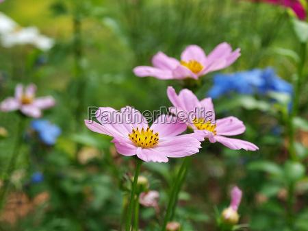 pink flower in the garden on