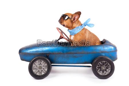 french bulldog in pedal car