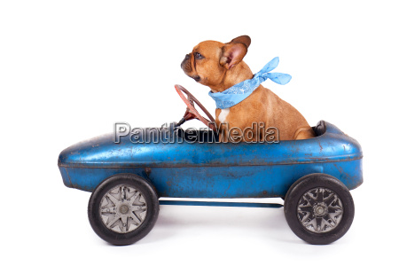 french bulldogge in the pedal car