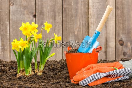 daffodils and garden tools
