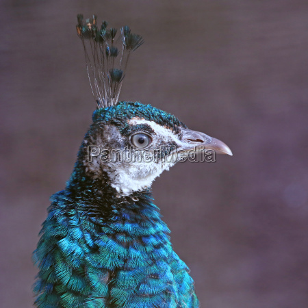 female peacock wears feather crown