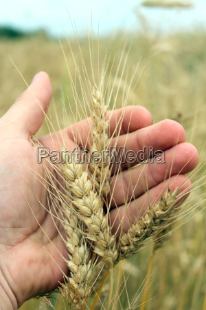 spikelets of the wheat in the