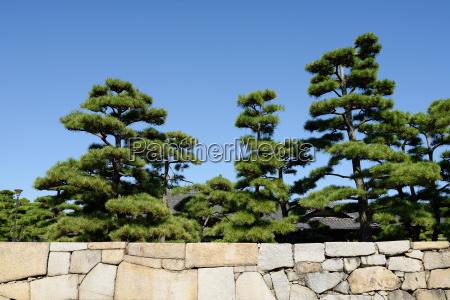 japanese bonsai pine tree in japanese
