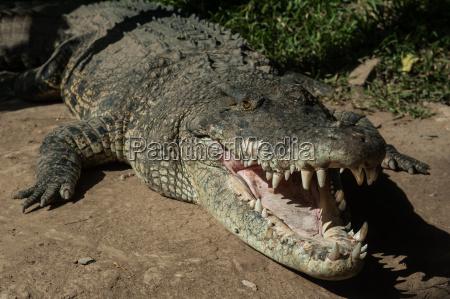charming crocodile grin
