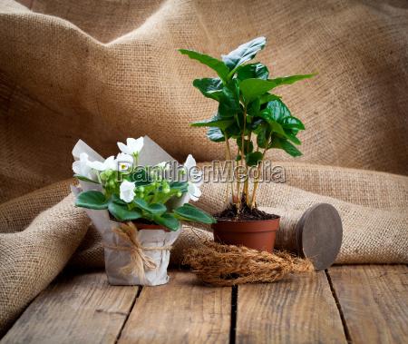 white saintpaulia flowers and coffee plant