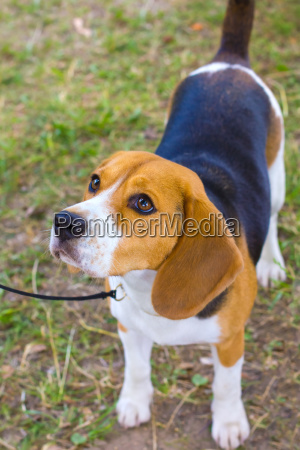 dog beagle breed on the green