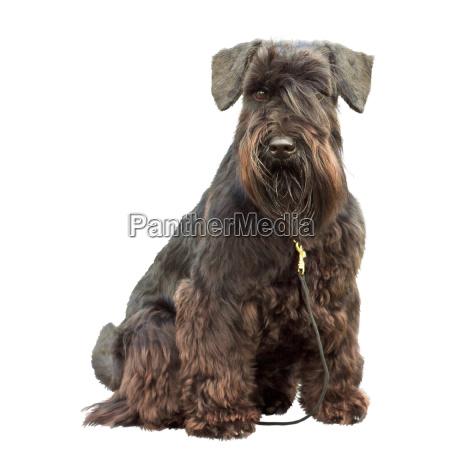 portrait of a thoroughbred dog black