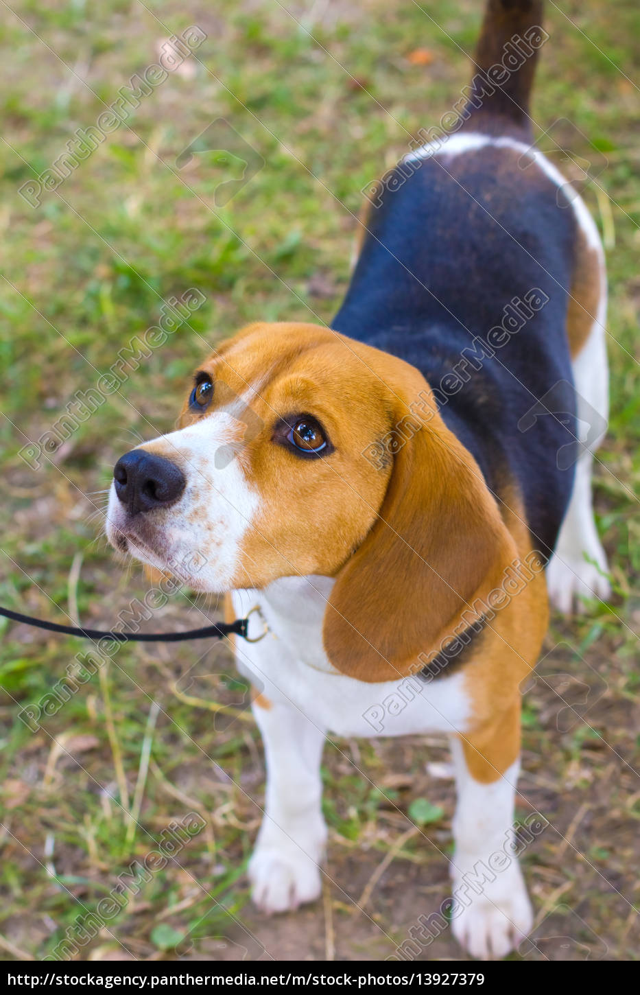 dog, beagle, breed, on, the, green - 13927379