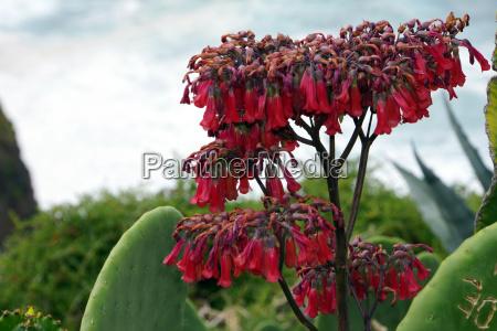 brutblatt kalanchoe spec flowering succulent plant