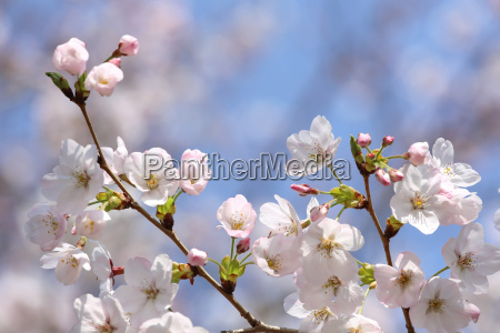 blooming branch of cherry blossom on
