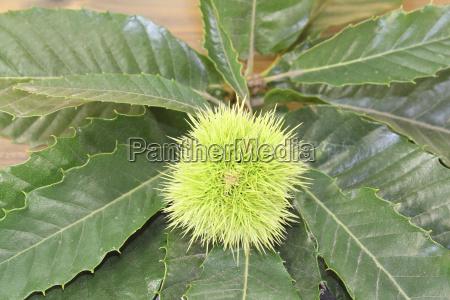 fresh green chestnuts