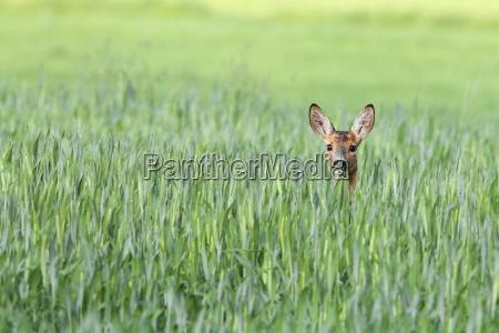 roe-deer, in, a, clearing - 13957523