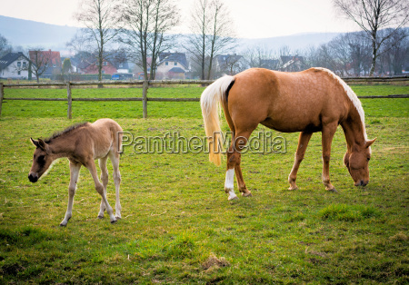 mare with foal in march on