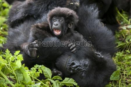 mountain gorillas in the jungle of