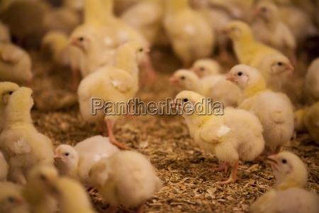 chicks in poultry barn