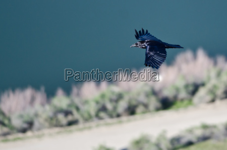 black common raven flying over the