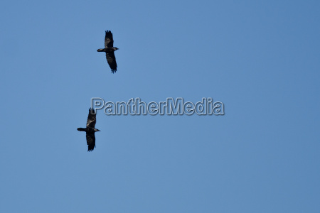 two black ravens flying in a