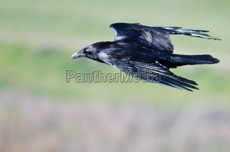 close look at black common raven