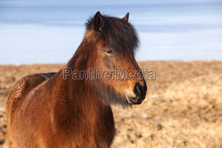 brown, icelandic, pony, on, a, meadow - 14039355