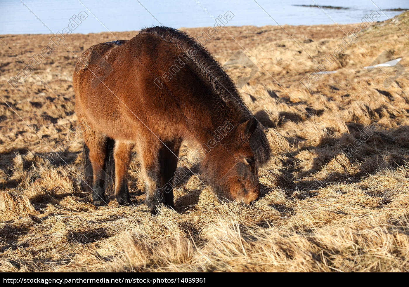 brown, icelandic, pony, on, a, meadow - 14039361