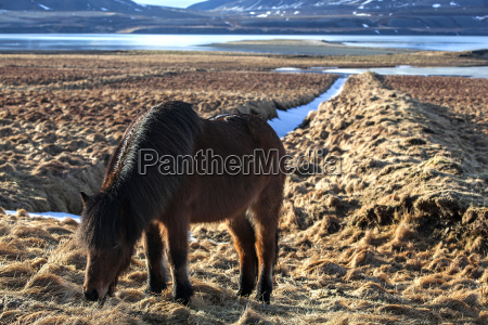 brown, icelandic, pony, on, a, meadow - 14039367