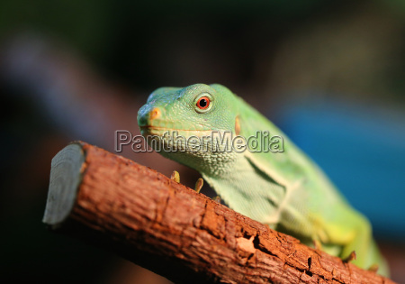 green, iguana - 14039229