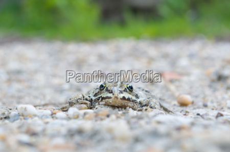 edible, frog, on, pebbles, front, view - 14043069