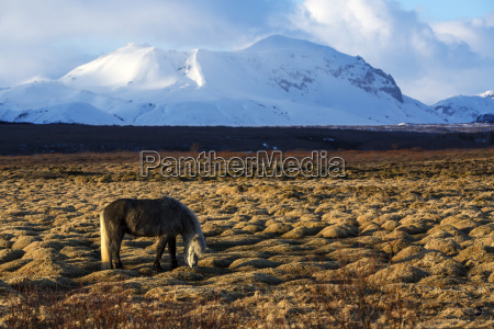 gray icelandic horse in front of