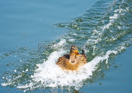 duck, landing, with, speed, in, the - 14045425