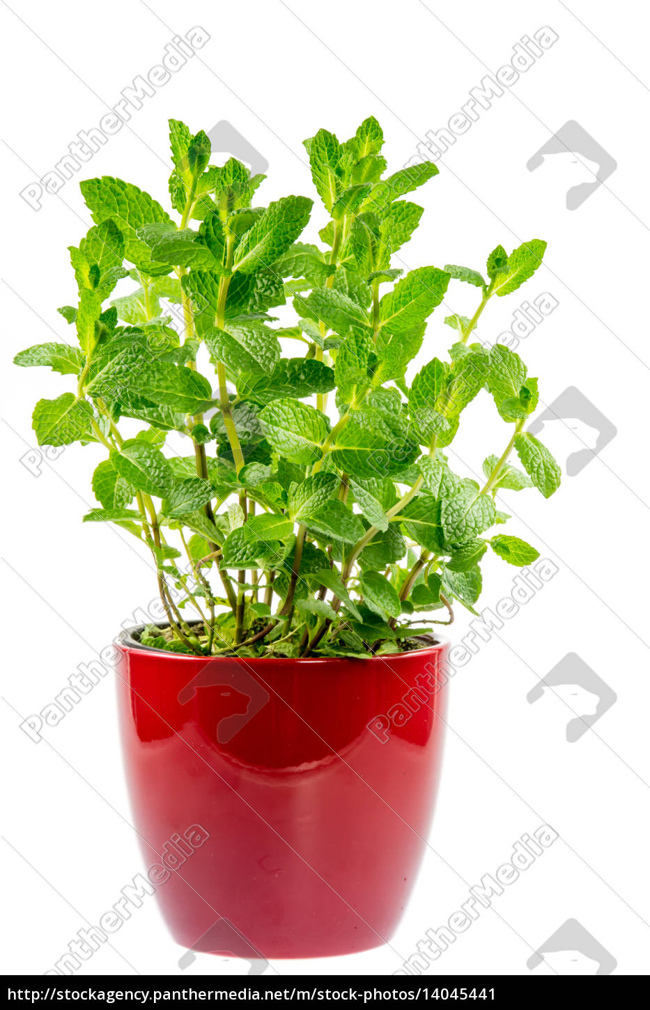 isolated, mint, plant, in, a, ceramic - 14045441