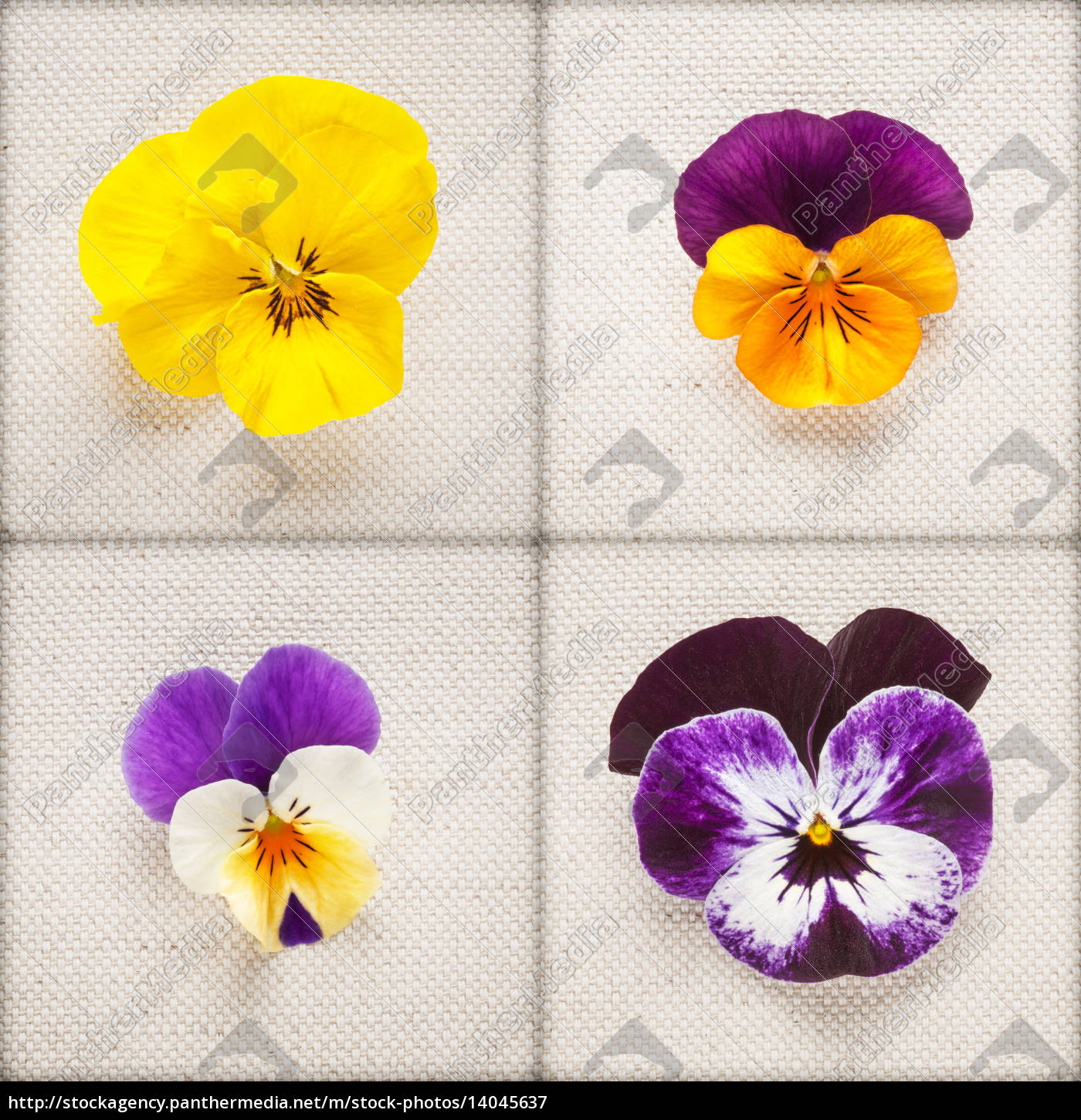 pansy, flowers - 14045637