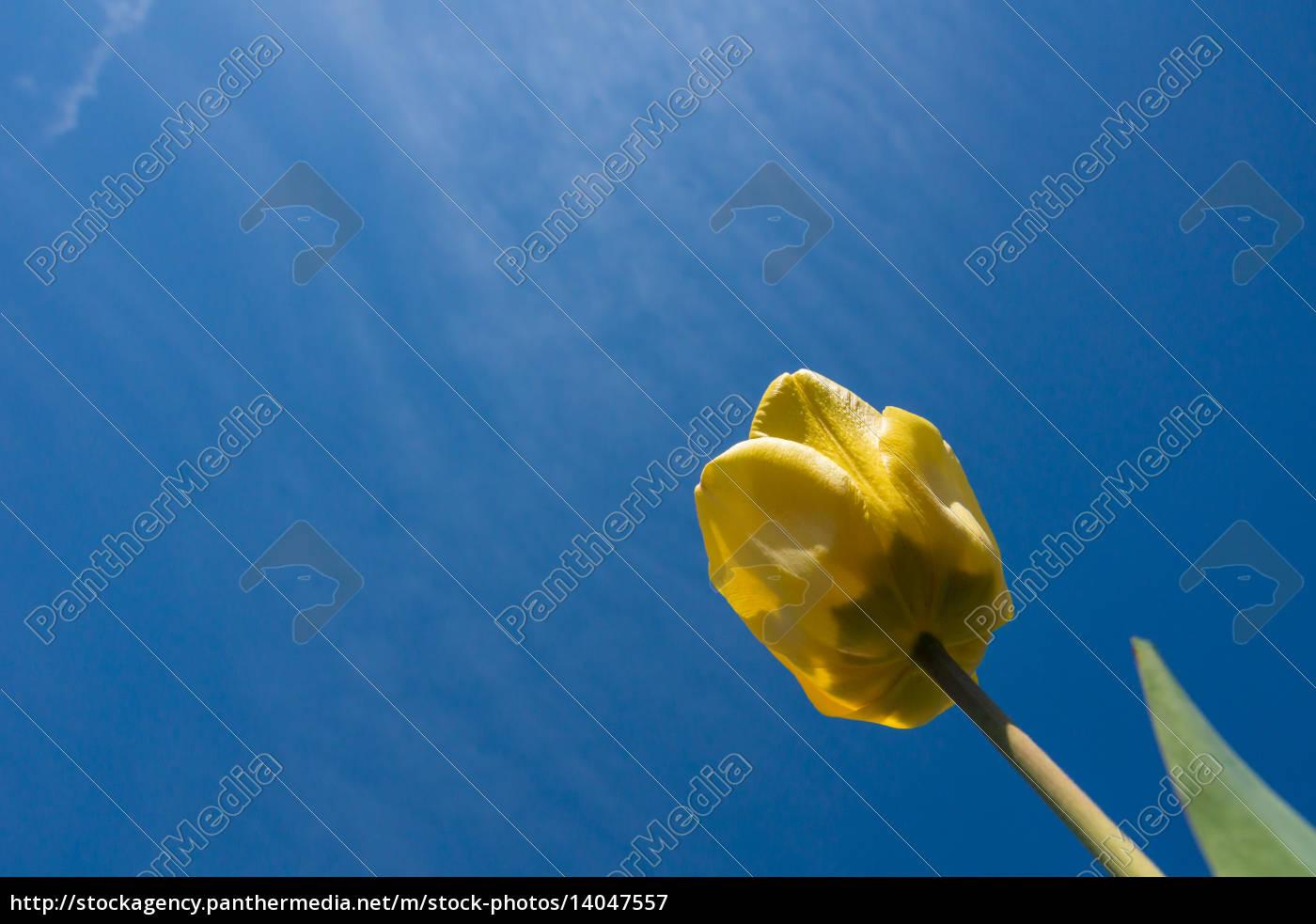 tulip - 14047557